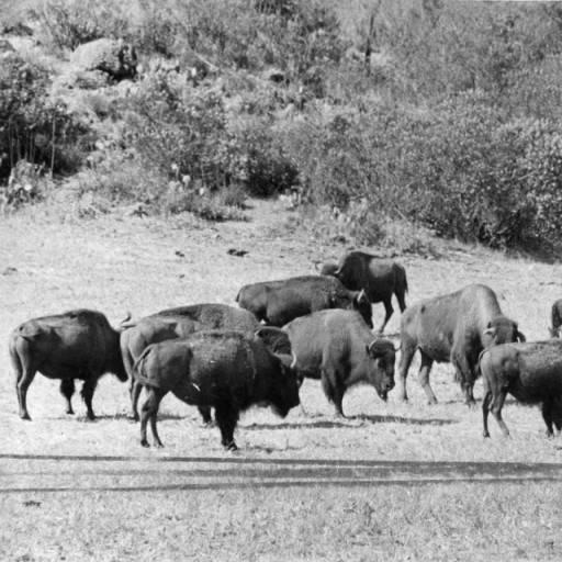 buffalo on catalina island