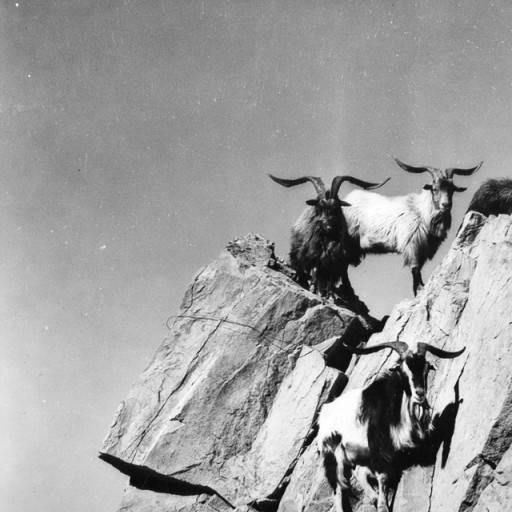 mountain goats on catalina